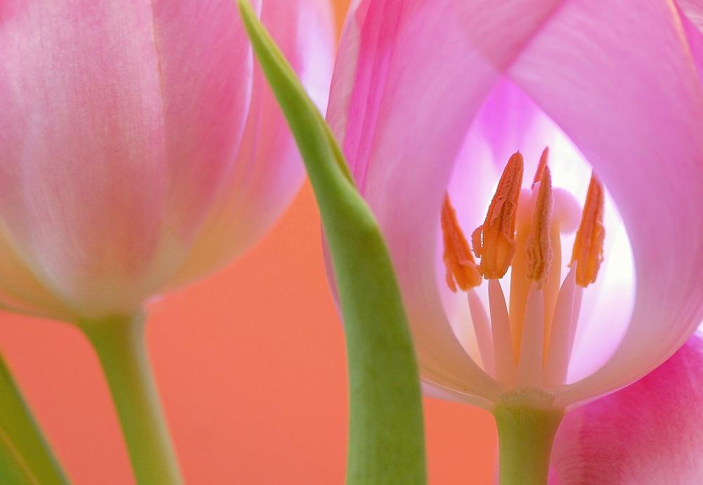 tulip-566875_1920.jpg